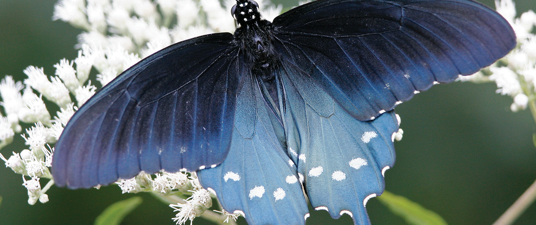 The Ten Most Captivating Butterflies in Pennsylvania