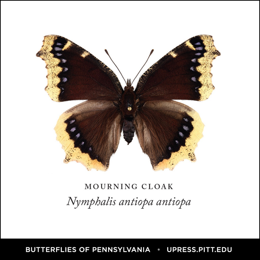 Butterflies of Pennsylvania